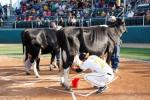 Stingers field manager Matt Hollod competed in a cow miling contest....and he won!